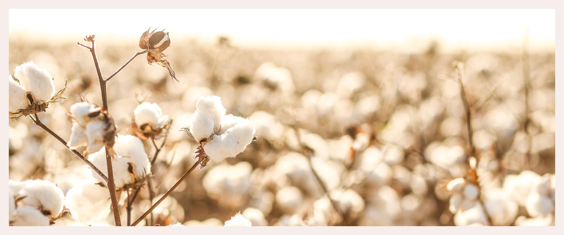 le tablier | Baumwollpflanze auf einem Feld